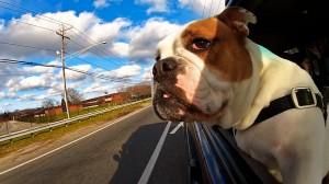 dogs-in-car5