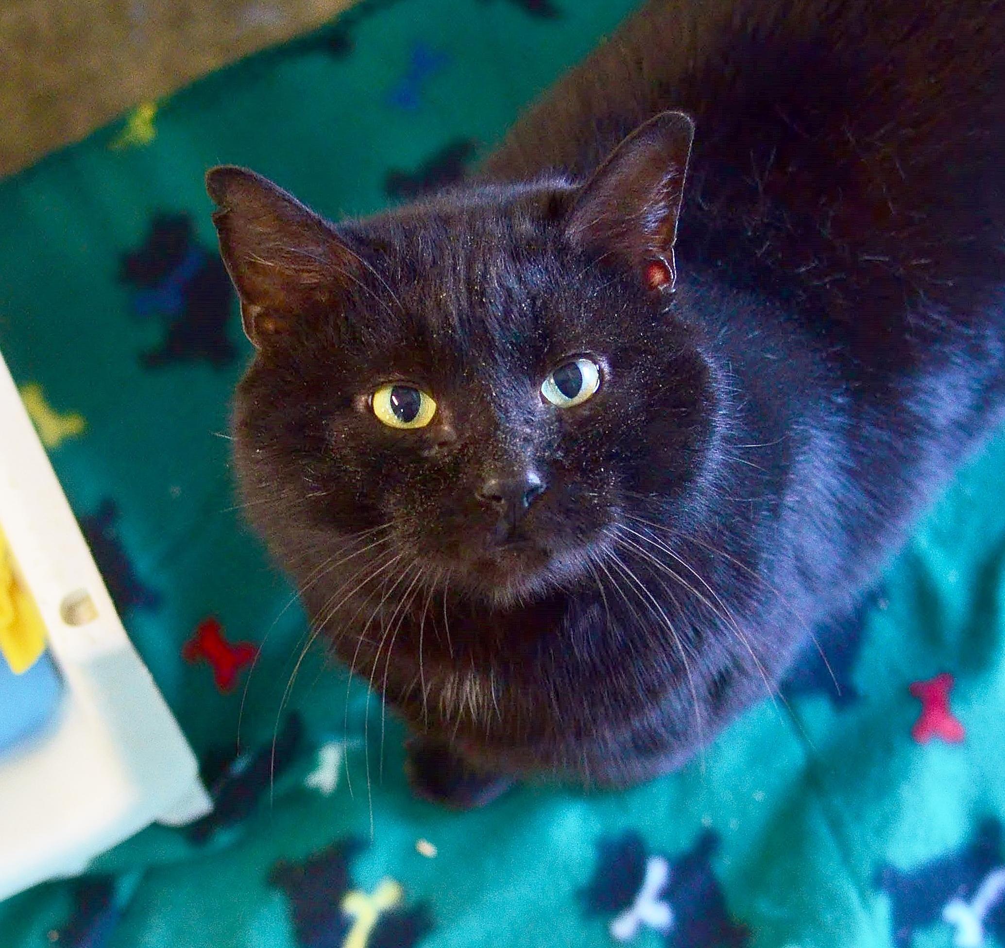 The Jungle Book Black Cat